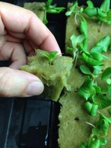 Day 21 lettuce in rockwool cube