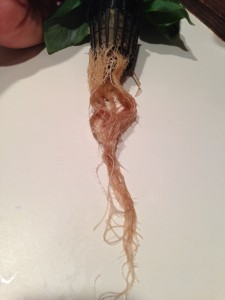 Day 42. Mature basil roots