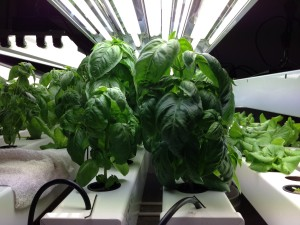 Day 42. Basil growth