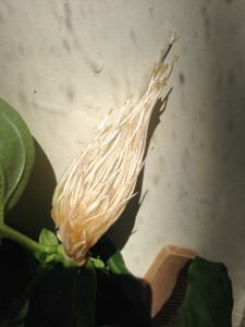 Cut basil root growth