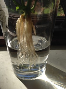 Cut basil root growth in glass
