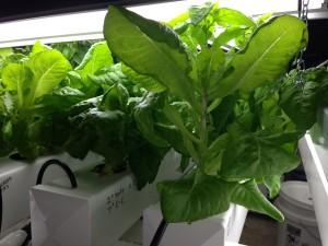 Bibb lettuce variance in growth