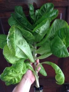 Leggy Lettuce